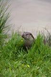 De Otter van de rivier Royalty-vrije Stock Foto