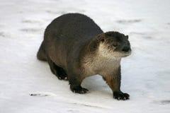 De Otter van de rivier Stock Afbeelding