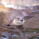 De otter van de rivier Royalty-vrije Stock Afbeeldingen