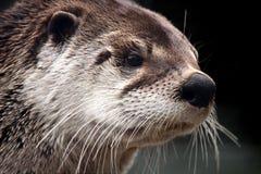 De Otter van de rivier Stock Fotografie