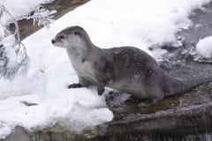 De otter van de rivier in de winter Stock Afbeelding