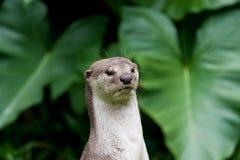 De Otter van de rivier in Maleisië Stock Afbeelding