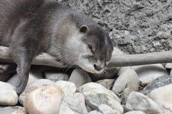 De Otter van de slaap Stock Afbeelding