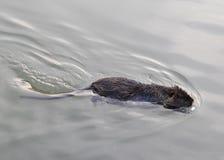 De OTTER zwemt in vijverwater op zoek naar voedsel Stock Fotografie