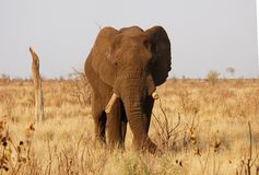 De oude Afrikaanse Stier van de Olifant Royalty-vrije Stock Afbeeldingen