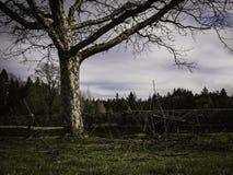 De oude appelboom na het snoeien met veel cutted takken royalty-vrije stock afbeeldingen