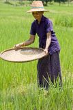 De oude Aziatische vrouwen zift rijst bij het padieveld
