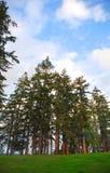 De oude Bomen van de Groei stock afbeeldingen