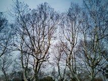 De oude bomen in de vroege lente wachten op de knop stock foto's