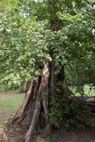 De oude boom Stock Foto