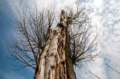De oude boom en het schaap betrekken royalty-vrije stock afbeelding