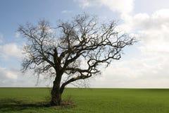 De oude boom van Gnarly stock foto's