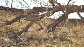 De oude boom is vernietigd bewegingslandschap rond op droog gras stock video