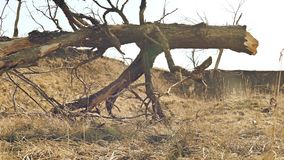 De oude boom is vernietigde landschapsbeweging rond droog gras stock videobeelden