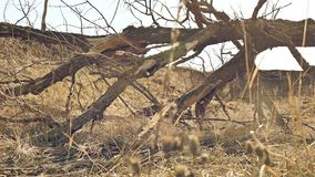 De oude boom is vernietigde landschapsbeweging rond op droog gras stock footage