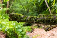 De oude die boomtak met mos op de achtergrond wordt behandeld vertroebelde groene bosecoachtergrond royalty-vrije stock foto's