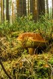 De oude eekhoorntjesbroodpaddestoel met groot bruin GLB groeit van mos en droge naalden royalty-vrije stock afbeeldingen