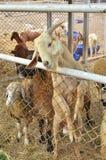 De oude geit heft hals van kooi op Stock Afbeelding