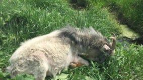 De oude geit met een baard weidt op een kabel stock footage