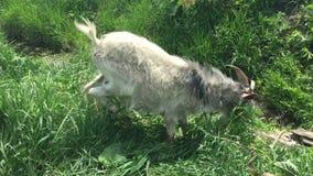 De oude geit met een baard weidt op een kabel stock video