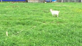 De oude geit met een baard weidt op een kabel stock videobeelden