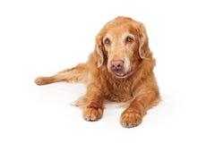 De oude Gouden Hond van de Retriever die op Wit wordt geïsoleerd Stock Foto