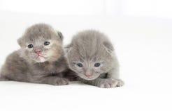 De oude grijze katjes van twee weken Royalty-vrije Stock Fotografie