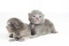 De oude grijze katjes van twee weken Stock Foto's
