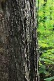De oude haveloze close-up van de boomboomstam in het de lentebos Stock Foto