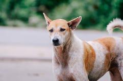 De oude hond kijkt iets royalty-vrije stock foto's