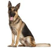 De oude Hond van de Duitse herder, 2 en een half jaren Stock Foto