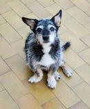 De oude hond wacht trouw op zijn hoofdterugkeer Royalty-vrije Stock Foto