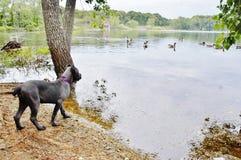 De oude Italiaanse mastiff eerste keer van vier maanden bekijkt eenden Stock Fotografie