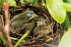 De oude kardinalen van acht dagen vorige dag in het nest Stock Foto's