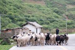 De oude man die schapen in grote Liangshan van China voedt Stock Afbeelding