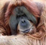 De oude mannelijke Orangoetan van het portret Stock Fotografie