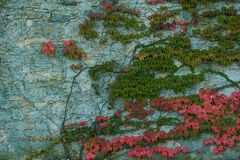 De oude muur met behandeld met rode groene en oranje klimop verlaat veitchii van parthenocissustricuspidata royalty-vrije stock afbeelding