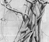 De oude naakte wijnen van de wisteriainstallatie in de winter - antieke steenmuur Royalty-vrije Stock Afbeeldingen