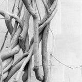 De oude naakte wijnen van de wisteriainstallatie in de winter - antieke steenmuur Royalty-vrije Stock Afbeelding