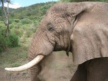 De oude olifant blaast stof van zijn boomstam Royalty-vrije Stock Foto's