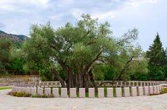 De oude olijfboom, Bar, Montenegro Royalty-vrije Stock Afbeelding