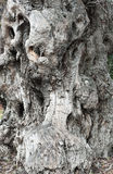 De oude olijfboom van de boomstam Stock Afbeelding