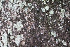 De oude oppervlakte van de boomschors met groen korstmos en mos De oppervlakte van de ruw houtraad royalty-vrije stock afbeeldingen