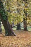 De oude overgehelde boom in de herfst stock foto