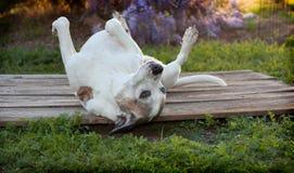 De oude pitbullhond legt op terug met voeten omhoog op houten dek Stock Afbeeldingen