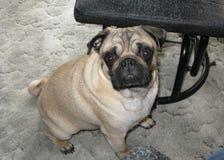 De oude Pug hond van negen maanden Royalty-vrije Stock Afbeelding