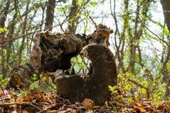 De oude rotte houten stomp met de gatenbinnenkant ligt op de grond met dode liefs in het bos stock afbeelding