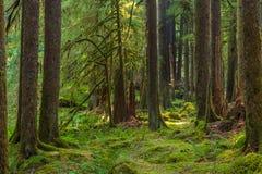 De oude Sleep van de Bosjesaard in Olympisch Nationaal Park, Washington, Verenigde Staten royalty-vrije stock fotografie