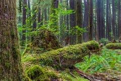 De oude Sleep van de Bosjesaard in Olympisch Nationaal Park, Washington, Verenigde Staten stock foto