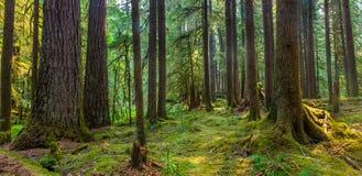 De oude Sleep van de Bosjesaard in Olympisch Nationaal Park, Washington, Verenigde Staten royalty-vrije stock afbeelding